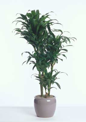 dracaena-michiko-hawaii