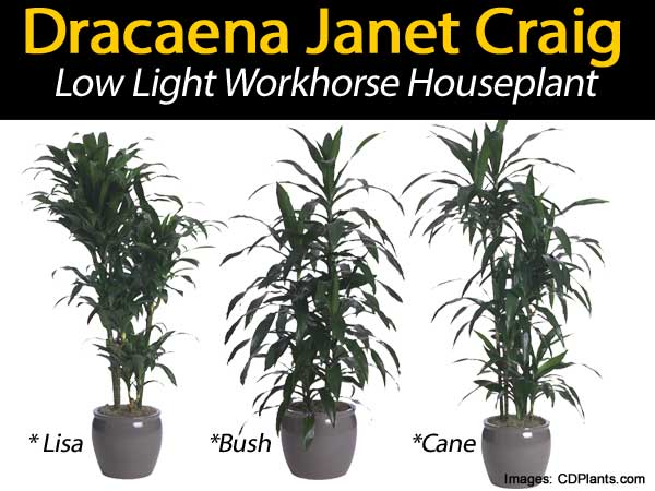 dracaena-janet-craig-033114