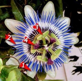 passion-flower-4-parts