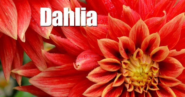 growing-dahlia-10312015