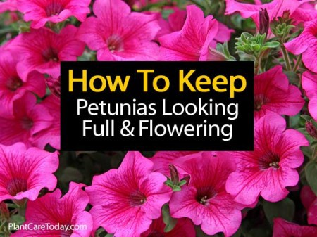 petunias-full-and-flower-053114