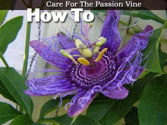 How To Grow And Care For The Passion Vine Passiflora Plant