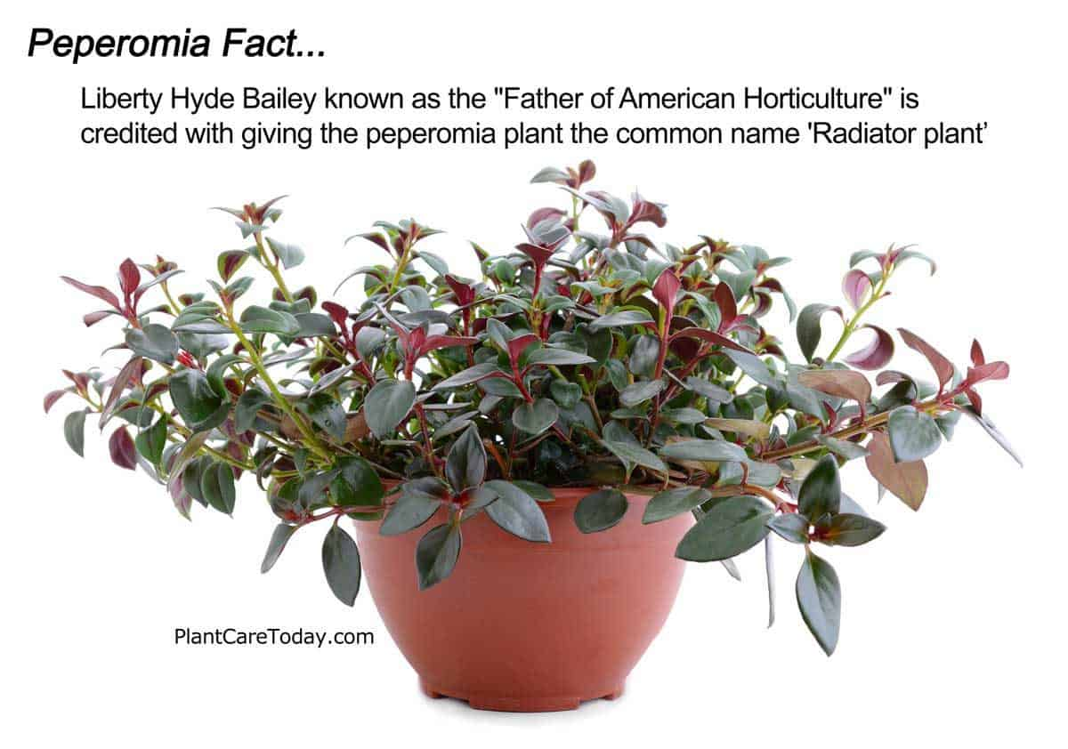 "Peperomia plant also known as the ""Radiator Plant"""