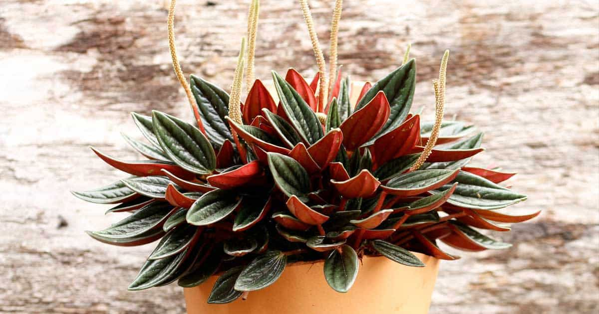 peperomia-potted-05312016