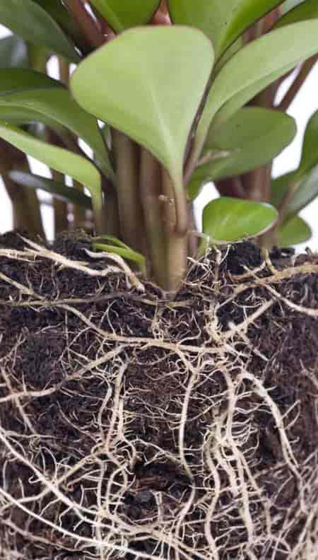 root system of peperomia