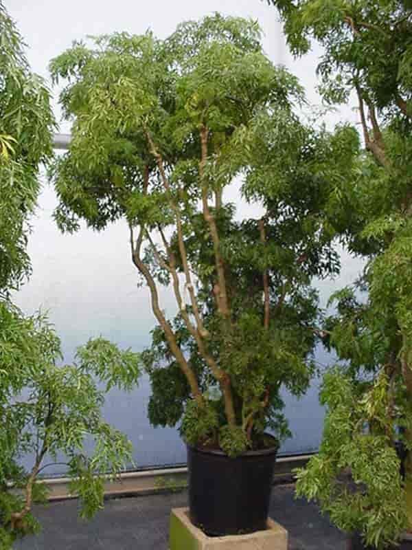 specimen ming aralia - polyscias fruticosa