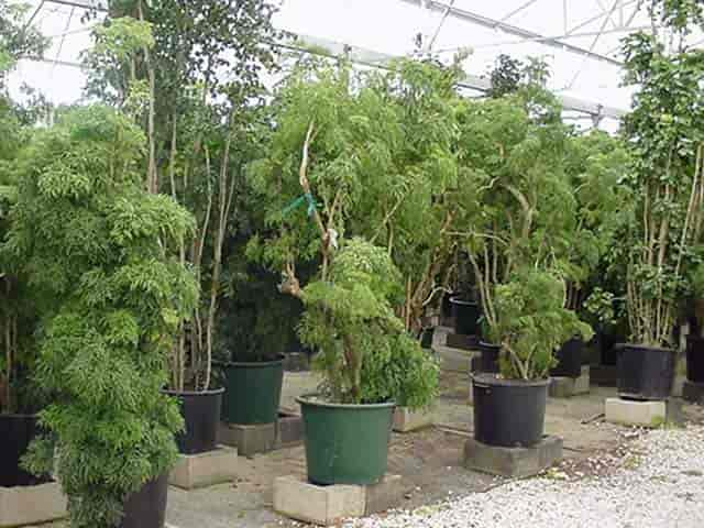 Growing And Care Of Polyscias Guide Sunscapes