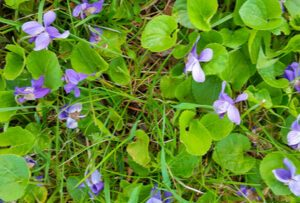 Wild Violet sunscapes ohio landscaping